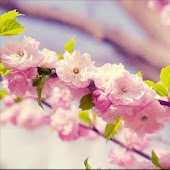 pink cherry live wallpaper