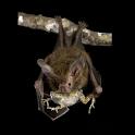 Bat Snack Live Wallpaper icon