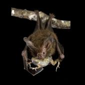 Bat Snack Live Wallpaper