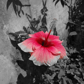 Hibiscus - The Ever red Beauty  by Arun Veeramani - Black & White Flowers & Plants ( red, nature, focus, flower, black,  )