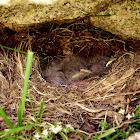 Nest under granite