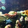 Californian sea cucumber