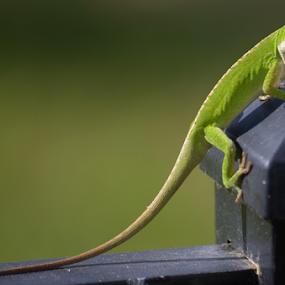 You Following Me? by Alan Hammond - Animals Reptiles ( reptiles, lizard, nature, gecko, green, #animals,  )