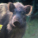 Japanese Wild boar or wild pig