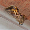 Chrysodeixis Looper Moth