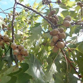Acorns by Patrick Jones - Nature Up Close Trees & Bushes ( oak tree, acorns )