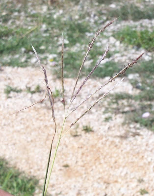 Bothriochloa ischaemum, bai yang cao, Barboncino digitato, capim-cola-de-zorro-amarelo, Turkestan beard grass, yellow bluestem
