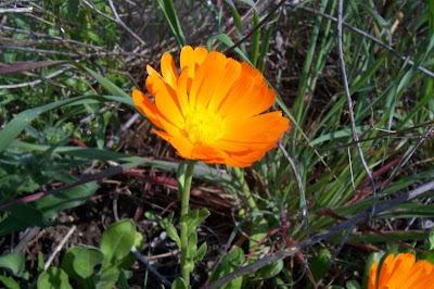 Calendula officinalis, calendula, Fiorrancio coltivato, marigold, pot marigold, pot-marigold, ruddles, Scotch Marigold, Scotch-marigold, Scottish-marigold