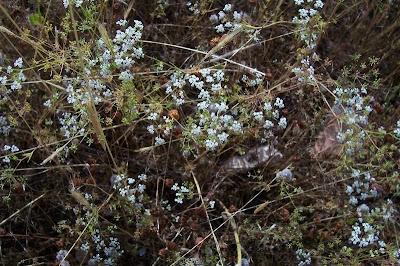 Ammoides pusilla, Prezzemolo bastardo, Small Bullwort