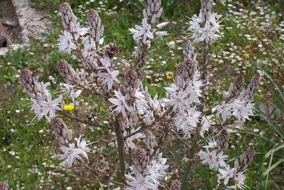 Asphodelus microcarpus, Asfodelo mediterraneo, Porraccio
