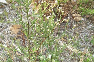Aster squamatus, aster écailleux, Astro autunnale, mata-jornaleiros, matacaveros, Narrow Leaved Aster, southeastern annual saltmarsh aster, Squamatus-Aster
