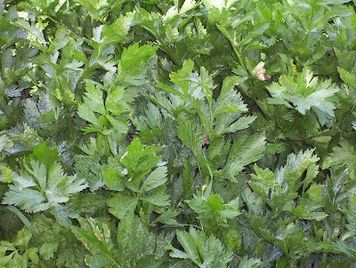Apium graveolens, apio, celeriac, celery, céleri, krafis, oranda-mutsuba, qin, sedano, Sedano comune, selderij, Sellerie, shalari, wild celery, Wood Marche