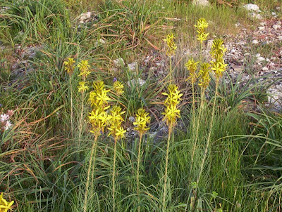 Asphodeline lutea, Asfodelo giallo, Jacob's-rod, king's-spear, yellow asphodel