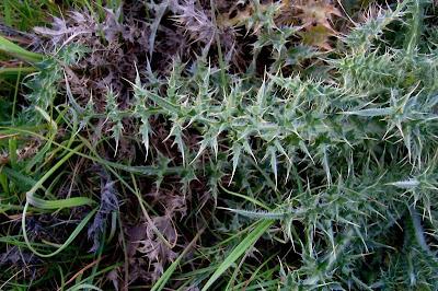 Carduus micropterus, Cardo ad ali strette