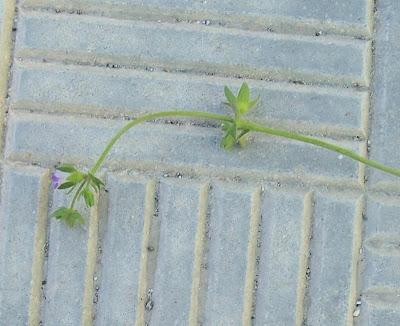Campanula erinus, Campanula minore, Small Bellflower