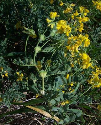 Coronilla valentina, Cornetta di Valenza, Mediterranean crownvetch, Shrubby Scorpion Vetch