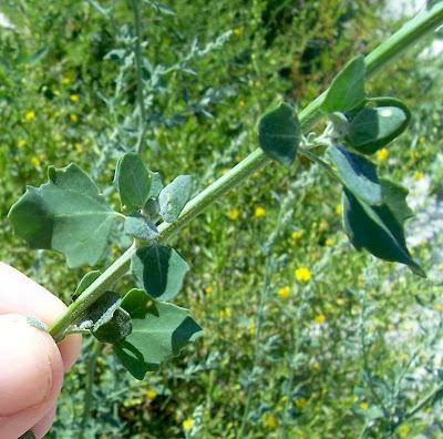 Chenopodium opulifolium, chénopode à feuilles d' obier, couve-maltesa, Farinello viburniforme, Grey Goosefoot, Schneeballblättriger Günsefuß, seaport goosefoot