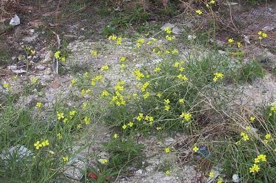 Diplotaxis tenuifolia, Feinblättriger Doppelsame, jaramago silvestre, Lincoln's-weed, perennial wallrocket, roquette à feuilles ténues, Ruchetta selvatica, sand mustard, sand rocket, wall rocket