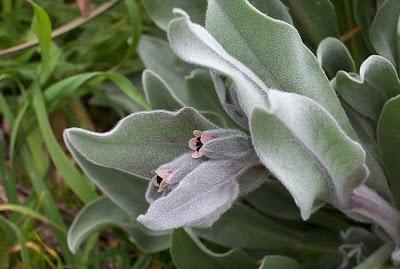 Cynoglossum cheirifolium, Lingua di cane giallastra