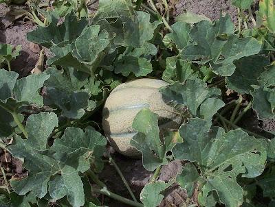 Cucumis melo, cantalope, cantaloupe, Melon, Melone, Popone