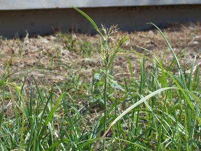 Cyperus rotundus, alho-bravo, capim-alho, capim-dandá, castañuela, chaguan humatag, coco-grass, cocograss, coquito, juncia, junça, kili'o'opu, nut sedge, nut-grass, nutgrass, pakopako, purple nut sedge, purple nutsedge