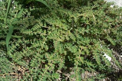 Euphorbia prostrata, Euforbia prostrata, prostrate sandmat