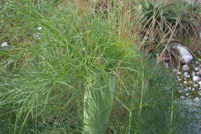 Ferula communis, Ferla, Ferra, Ferula comune, Finocchiaccio, Giant Fennel, giant-fennel