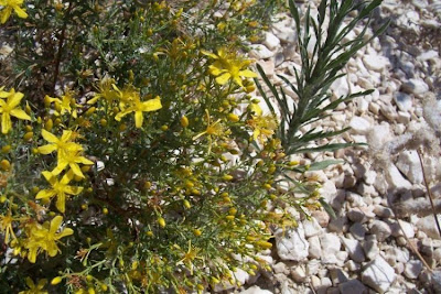 Hypericum triquetrifolium, Erba di S.Giovanni crespa, Triangular Leaved St John's Wort