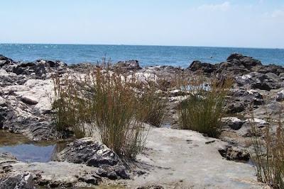 Juncus maritimus, Giunco marittimo, sea rush, seaside rush, sparto
