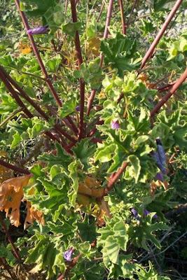 Lavatera arborea, Baum-Malve, Malvone maggiore, tree mallow, tree-mallow