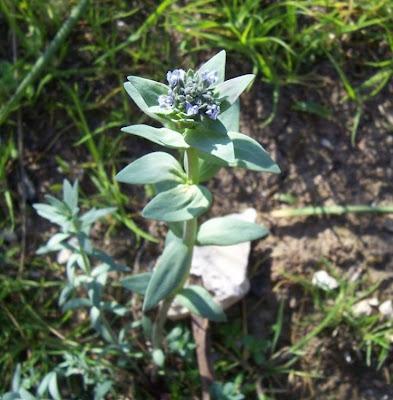 Linaria micrantha, Linajola minima