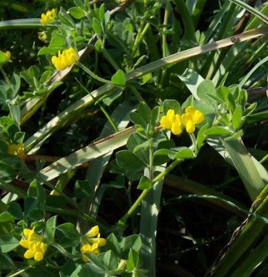 Lotus ornithopodioides, Ginestrino piè d'uccello, Southern Bird's Foot Trefoil