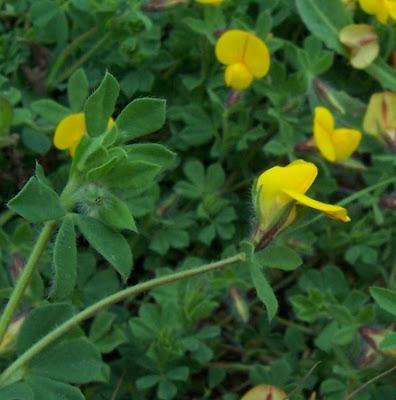 Lotus edulis, Edible Bird's Foot Trefoil, Ginestrino commestibile