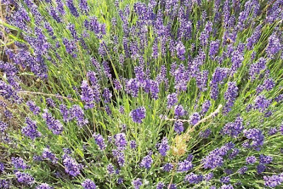 Lavandula angustifolia, English lavender, Fior di Spigo, Lavanda vera, lavender, Old English Lavender, Spigo