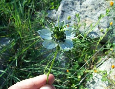 Nigella damascena, Anigella, arañas, barbas-de-velho, Damigella scapigliata, devil in the bush, Fanciullacce, jack-in-the-green, Love in a Mist, love-in-a-mist, nigelle de Damas, wild fennel