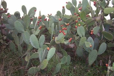 Opuntia ficus-indica, Barbary fig, Barbary-fig, boereturksvy, chumba, chumbera, Feigenkaktus, Fico d'India, Ficodindia, figo-da-Espanha, figo-da-Índia, figueira-da-Barbária, figuier d'Inde, figuier de Barbarie, grootdoringturksvy