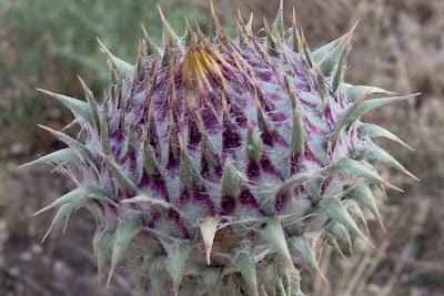 Onopordum illyricum, cardo-ilírico, Illyrian cottonthistle, Illyrian thistle, Onopordo maggiore