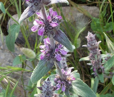 Stachys germanica, Betonica germanica, Downy Woundwort, German hedgenettle, Stregona germanica