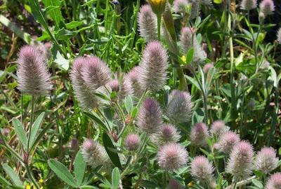 Trifolium arvense, Acker-Klee, hairy clover, hare's foot clover, hare-foot clover, hare-foot trefoil, oldfield clover, pé-de-lebre, Rabbit Foot Clover, rabbit-foot clover, rabbitfoot clover, stone clover, trevo-de-rato