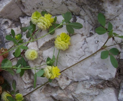 Trifolium campestre, Feld-Klee, Field (Big-hop) clover, field clover, hop clover, hop trefoil, large hop clover, lesser hop clover, low hop clover, trevo-amarelo, Trifoglio campestre, trèfle jaune, trébol