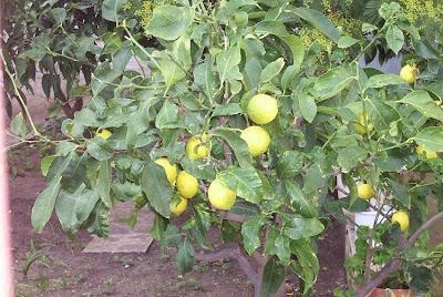 Citrus limon, citronnier, lemon, li meng, limoeiro, limoeiro azedo, Limon, limone, limonero, limonier, limum, limão, limão-eureka, limão-gênova, limão-siciliano, limão-verdadeiro, limón, ning meng, Zitrone