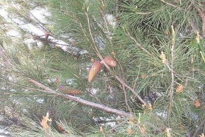 Pinus halepensis, Aleppo pine, Aleppoden, Jerusalem pine, pino carrasco, Pino d'Aleppo, Seekiefer