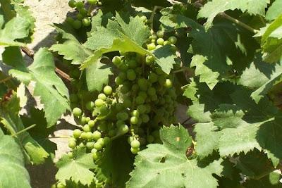Vitis vinifera, common grapevine, echter Weinstock, European grape, grape, grapevine, Rebe, Roseinekaerne, uva, videira, Vite comune, wild grape, wine grape