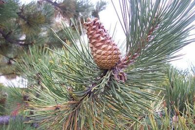 Pinus nigra, australian pine, Austrian pine, black pine, Corsican pine, Crimean pine, european black pine, ou zhou hei song, Pino austriaco, Pino nero, Schwarzkiefer
