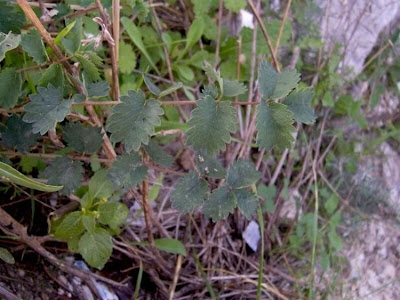 Sanguisorba minor, Bibinella, garden burnet, kleiner Wiesenknopf, little burnet, petite pimprenelle, pimpinela, pimpinela menor, pimpinella menor, pimprenelle, salad burnet, Salvastrella minore, small burnet