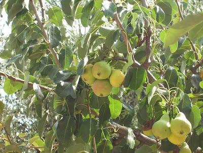 Pyrus communis, Birnbaum, Birne, Birnenbaum, common pear, pear, pera, peral, pereira, pero, Pero comune, poirier, seiyo-nashi, xi yang li