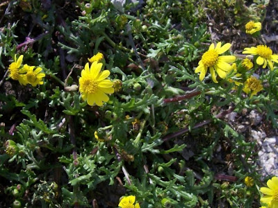 Senecio leucanthemifolius, Coastal Ragwort, Senecione costiero