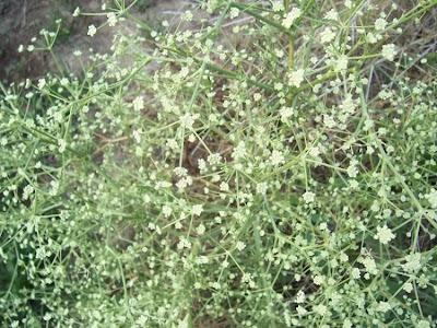 Seseli tortuosum, Finocchiella maditerranea