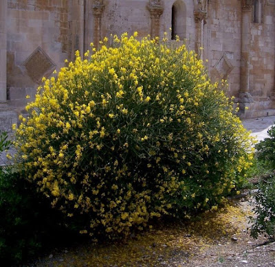 Spartium junceum, Binsenginster, genet, genêt d'Espagne, giesteira, Ginestra comune, ginstra, retacchu, retama, retama de olor, retama macho, Spaanse besem, Spanish broom, Spanish-broom, weaver's broom, weaver's-broom