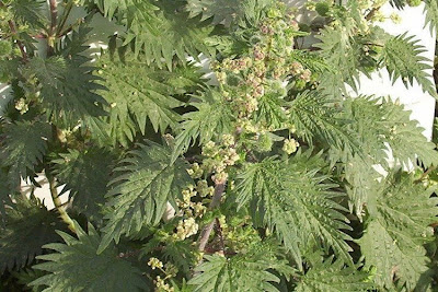 Urtica pilulifera, Ortica a campanelli, Roman Nettle